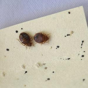 Carpet Beetles In My Bed Possibly Black Carpet Beetles Whats That Bug