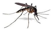 asean tiger mosquitoe