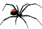 block widow spider