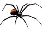 block widow spider
