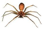 brown recluce